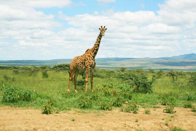 「マサイマラ国立保護区のサファリツアーで出会ったキリン」のフリー写真素材を無料ダウンロード