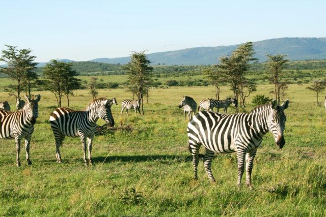 「マサイマラ国立保護区のサファリツアーで出会ったシマウマの群れ」のフリー写真素材を無料ダウンロード