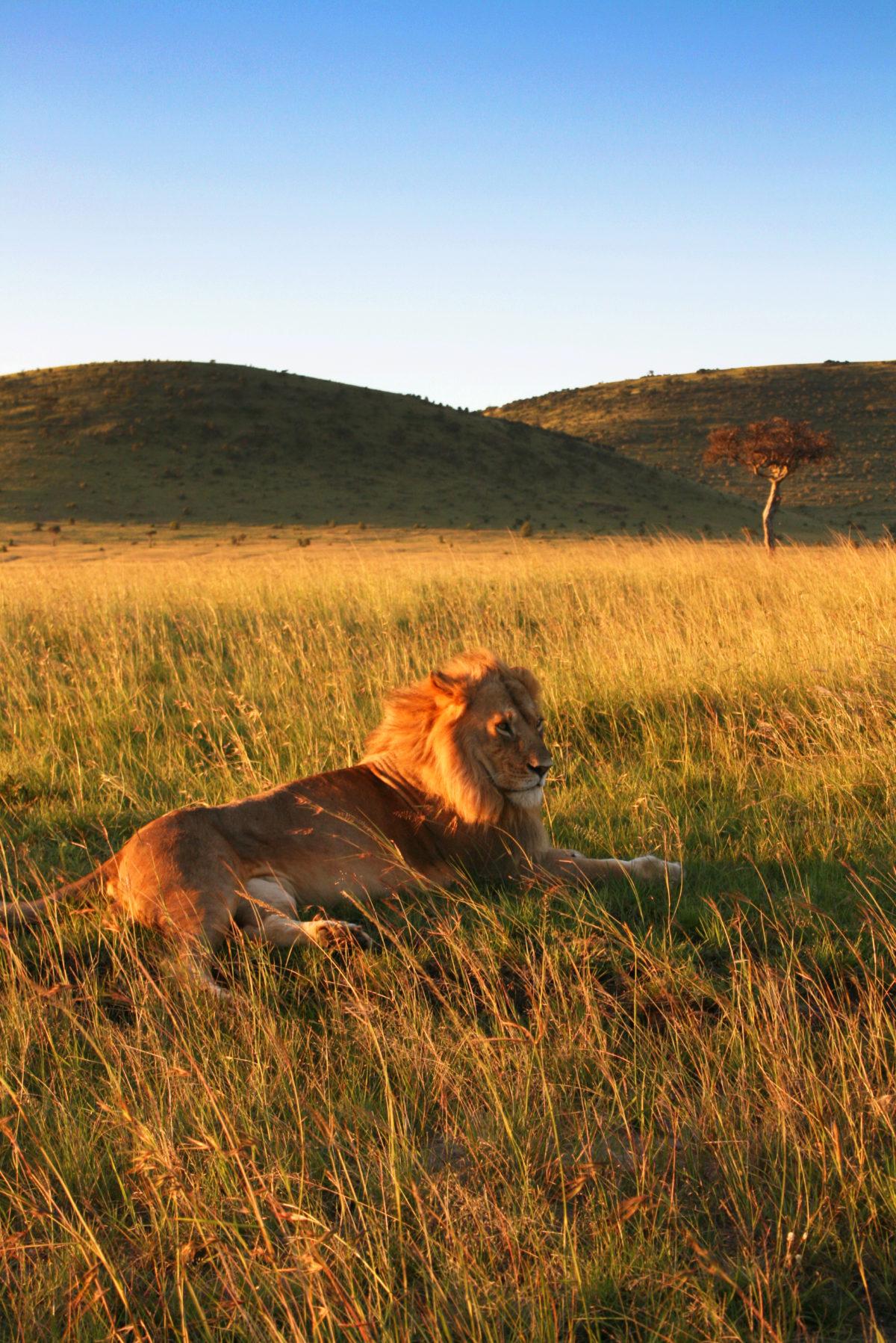 Lions met on a safari tour of the Masai Mara National Reserve