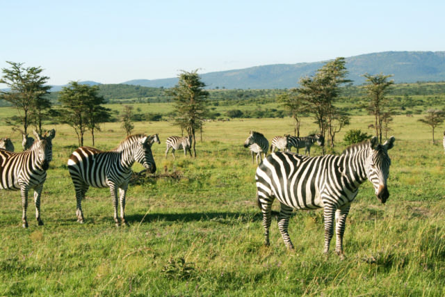 Free stock photos of [A group of zebras we met on a safari tour in the Masai Mara National Reserve]